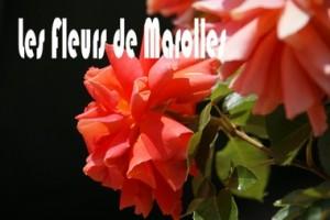 les fleurs de marolles 2011
